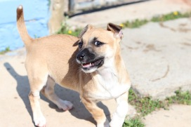 An adorable puppy up for adoption at Grahamstown's SPCA.