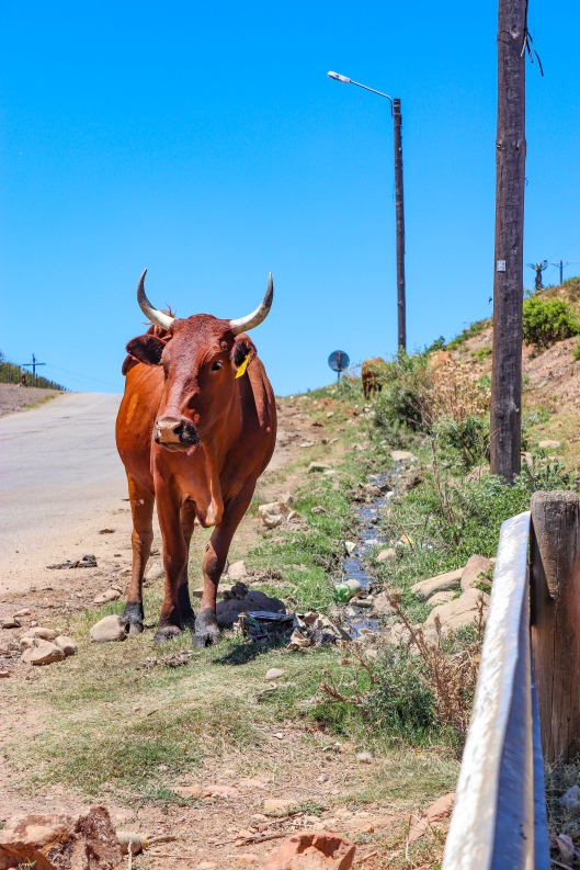 A cow walks past the sewage which runs like a river alongside the main road into Alicedale. Photo: Stephen Kisbey-Green