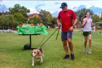 One of the four-legged competitors, Basil, finishes the Makana Brick Nite Race. Photo: Stephen Kisbey-Green