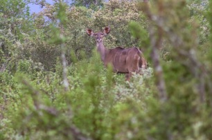 A Hidden Kudu try not to be seen while on an early morning Game drive inside the Great Fish River Nature Reserve. Photo: Stephen Kisbey-Green