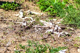 The not-so-fresh remains of a small Duiker near Fort Double Drift inside the Great Fish River Nature Reserve. Photo: Stephen Kisbey-Green