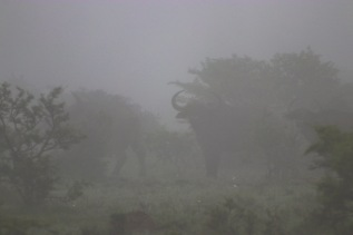 Buffalos in the mist. The heavy mist on the morning drive made a difficult, but amazing morning of wildlife viewing. Photo: Stephen Kisbey-Green