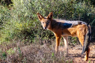 The Black-Backed Jackal is one of many natural predators inside the Great Fish River Nature Reserve. Photo: Stephen Kisbey-Green