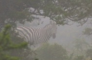 A sneaky Zebra peers through the mist behind a tree in the Great Fish River Nature Reserve. Photo: Stephen Kisbey-Green