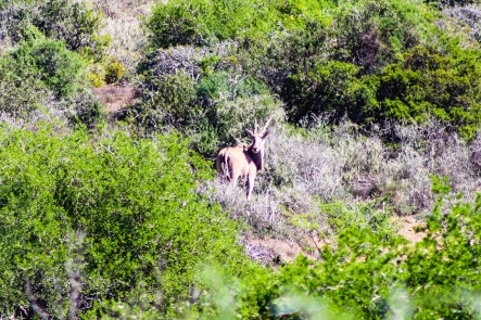 All kinds of different buck populate the immensely diverse Great Fish River Nature Reserve. Photo: Stephen Kisbey-Green