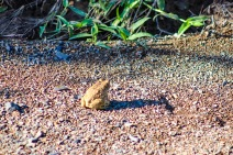 A Raucous Toad hops to safety near a small stream inside the Great Fish River Nature Reserve. Photo: Stephen Kisbey-Green