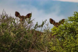 Hidden Kudus try not to be seen while on an early morning Game drive inside the Great Fish River Nature Reserve. Photo: Stephen Kisbey-Green