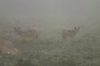 Jackals in the mist. The heavy mist on the morning drive made a difficult, but amazing morning of wildlife viewing. Photo: Stephen Kisbey-Green
