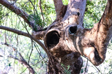 Interesting trees and plants, such as this camel-like trunk, are waiting to be discovered inside the Great Fish River Nature Reserve. Photo: Stephen Kisbey-Green