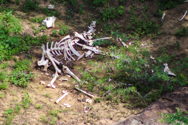 The months-old remains of a large bush buck is evidence of predators inside the the Great Fish River Nature Reserve. Photo: Stephen Kisbey-Green
