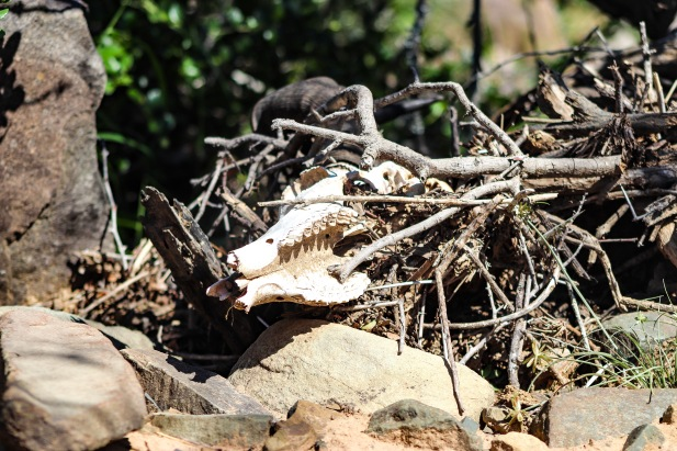 The remains of a Hartebeest lay on the side of the road inside the Great Fish River Nature Reserve. Photo: Stephen Kisbey-Green