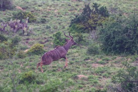 A prancing male Kudu runs through the bush in the Great Fish River Nature Reserve. Photo: Stephen Kisbey-Green