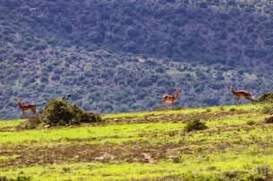 A short drive through the Bucklands Private Game Reserve, which borders the Great Fish River Nature Reserve, allows guests to see Impala and other different types of buck. Photo: Stephen Kisbey-Green