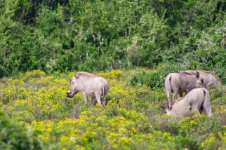 A group of Warthogs scrounge around in the flowers at the Great Fish River Nature Reserve. Photo: Stephen Kisbey-Green
