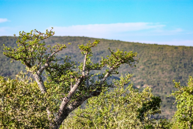 The Great Fish River Nature Reserve have recently reintroduced Spekboom into the Reserve. Photo: Stephen Kisbey-Green
