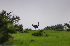 An ostrich watches out for predators inside the Great Fish River Nature Reserve. Photo: Stephen Kisbey-Green