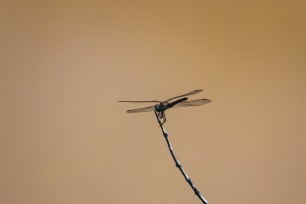The Dragonflies around the Great Fish River shows that the water is healthy and good for the rest of the wildlife to drink. Photo: Stephen Kisbey-Green