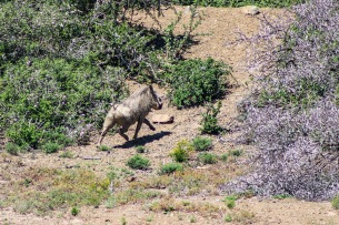 An intrusive invader, the Warthog is not native to the Great Fish River Nature Reserve area. Photo: Stephen Kisbey-Green