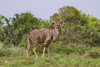 A large male Kudu shows off inside the Great Fish River Nature Reserve. Photo: Stephen Kisbey-Green